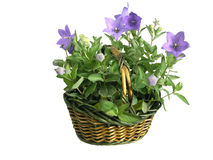 Cestino in pieno dei fiori /isolated/ Immagini Stock Libere da Diritti