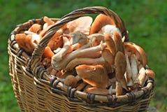 Cestino in pieno dei funghi su erba Fotografia Stock Libera da Diritti