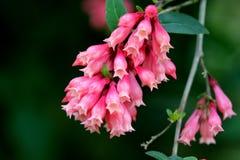 Cestrum elegans var smithii Pink Cestrum Plant FREE SHIP