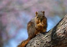 Cet écureuil est des biscuits ! Photo libre de droits
