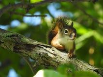 Cet écureuil a son oeil sur moi ! Photos stock