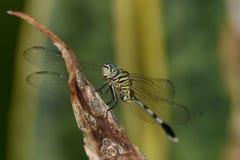 Cet animal d'insecte s'appelle un vert de libellule dans le noir images stock
