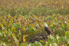 Cet Eagle Is Bald Photo stock