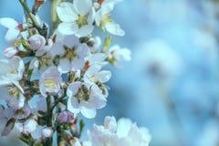 Cet fino de la almendra y abeja que recogen el néctar Fotografía de archivo libre de regalías