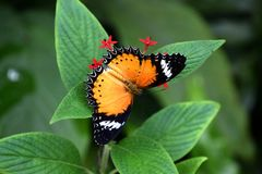 Cethosia biblis butterfly on red tropical flower, butterfly with patterned opened wings stock images