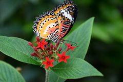 Cethosia biblis butterfly on red tropical flower, butterfly with patterned wings. Cethosia biblis butterfly on red tropical flower, butterfly with orange, white royalty free stock photo