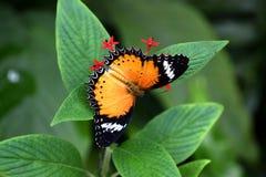Cethosia biblis motyli na czerwonym tropikalnym kwiacie, motyl z wzorzystymi rozpieczętowanymi skrzydłami obrazy stock