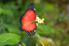 Cethosia biblis on yellow flower Royalty Free Stock Images