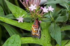 Cethosia cyane, the leopard lacewing, is a species of heliconiine butterfly stock photo