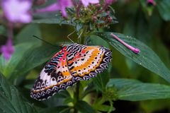 Cethosia cyane, the leopard lacewing, is a species of heliconiine butterfly stock photos