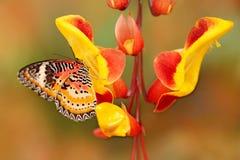 Cethosia-cyane, Leopard Lacewing, tropischer Schmetterling verteilt von Indien nach Malaysia Schönes Insekt, das auf Rot und yell lizenzfreie stockfotos