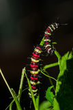 Cethosia cyane`s caterpillar, Butterfly worm Royalty Free Stock Photos