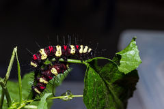 Cethosia cyane`s caterpillar, Butterfly worm Stock Photography