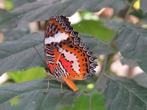 Cethosia Hypsea. Is a brightly coloured butterfly found throughout Indonesia and the Philippines stock photography