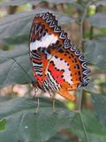 Cethosia Hypsea. Is a brightly coloured butterfly found throughout Indonesia and the Philippines royalty free stock photo
