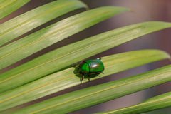 cetonia甲虫自然照明设备照片在绿色棕榈叶的与浅DOF 免版税库存照片