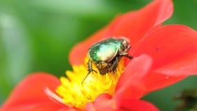 Cetonia Aurata στο κόκκινο λουλούδι νταλιών απόθεμα βίντεο