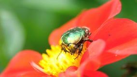 Cetonia Aurata στο κόκκινο λουλούδι νταλιών φιλμ μικρού μήκους
