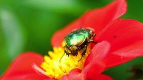 Cetonia Aurata на красном цветке георгина акции видеоматериалы