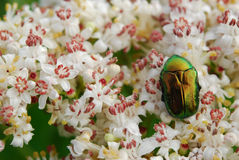 Cetonia aurata. Macro Cetonia aurata or rose chafer beetle on blossoming plant Stock Photo