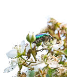 cetonia aurata Στοκ φωτογραφία με δικαίωμα ελεύθερης χρήσης