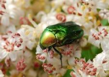 Cetonia aurata beetle. Macro Cetonia aurata or rose chafer beetle on blossoming plant Stock Photo