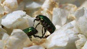 Cetonia aurata beetles close up stock footage