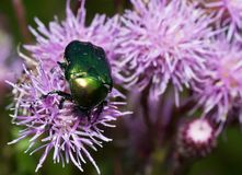 Cetonia aurata. Bug on small purple  camel prickle. Cetonia aurata Royalty Free Stock Photography