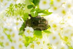 Cetonia aurata on the flower Stock Photography