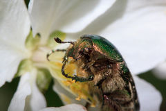Cetonia aurata eats apple tree flowers. Royalty Free Stock Photography