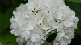 Cetonia aurata flower Stock Photography
