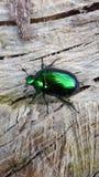 Cetonia aurata, genannt den rosafarbenen Käfer oder den grünen rosafarbenen Käfer, ist ein Käfer Stockfoto