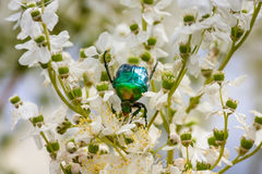 Cetonia aurata green rose chafer on flowering plant Stock Image
