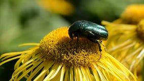 Cetonia aurata picking pollen stock video