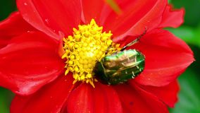 Cetonia Aurata on the Red Dahlia flower stock footage