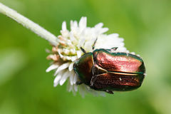 Cetonia aurata, rose chafer Stock Photos