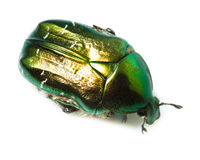 Cetonia aurata, rose chafer Royalty Free Stock Photography