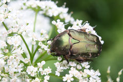 Cetonia aurata or Rose Chafer beetle – beautiful green bug. Beautiful big bug a fine sample for your entomological collection Stock Images