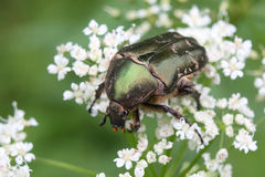 Cetonia aurata or Rose Chafer beetle – beautiful green bug. Beautiful big bug a fine sample for your entomological collection Royalty Free Stock Photos