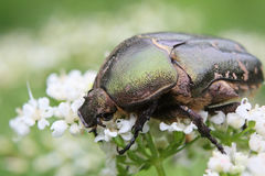 Cetonia aurata or Rose Chafer beetle – beautiful green bug. Beautiful big bug a fine sample for your entomological collection Royalty Free Stock Photography