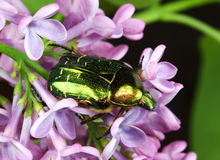 Cetonia aurata the Rose Chafer Beetle. An iridescent green Cetonia aurata or Rose Chafer Beetle foraging on lilac flowers Royalty Free Stock Images
