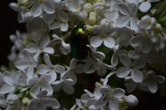 Cetonia aurata or Rose Chafer beetle on the flowers of white lilac stock images