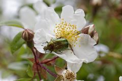 Free Cetonia Aurata, Rose Chafer On A Wild Rose, Corsica, France Stock Photos - 47933113