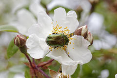 Cetonia aurata, Rose Chafer on a wild rose, Corsica, France Stock Photos