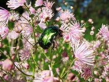 Cetonia aurata, scarab family (Scarabaeidae) Stock Photo