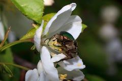 Cetonia aurata sitting on a flowering apple tree. Stock Image