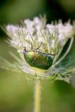 Cetonia Aurata sur une fleur de Carota de Daucus Photos libres de droits