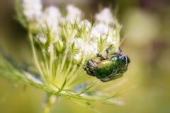 Cetonia Aurata sur une fleur de Carota de Daucus Image libre de droits