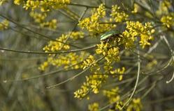 Cetonia beetle Stock Photography
