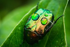 Cetonia bug on the green leaf. Selective focus. Shallow depth of field Royalty Free Stock Image